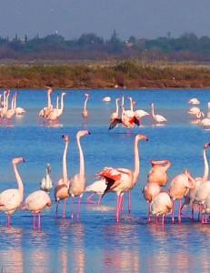 Flamingos in montpellier